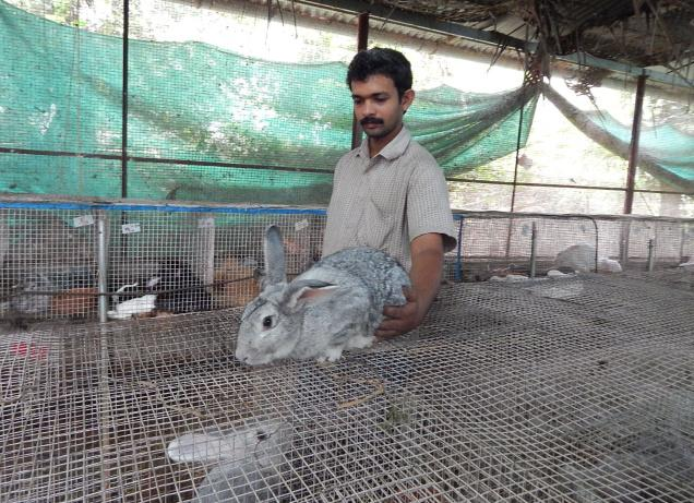 SHIFTING TREND: In a year a unit (10 rabbits) will be able to produce 2,000 bunnies. / by Special Arrangement / The Hindu
