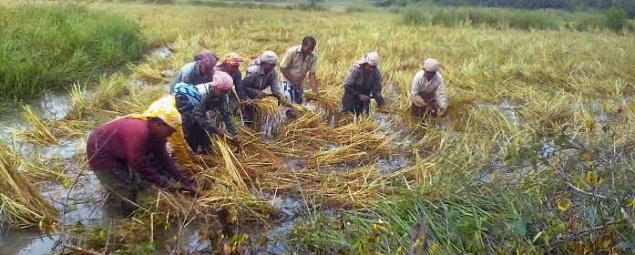 Paddy farmers harvesting the traditional rice variety cultivated in the brackish water fields at Vellikkeel Chera in Kannur on Sunday.